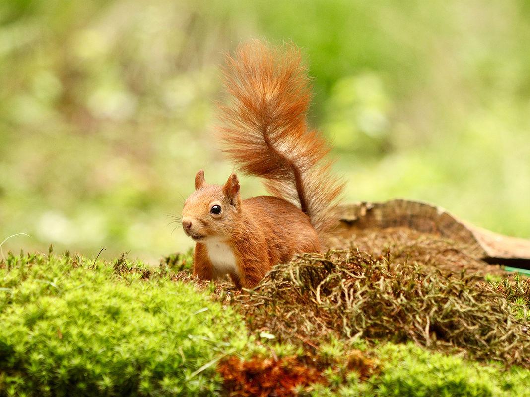 Ruda wiewiórka w lesie